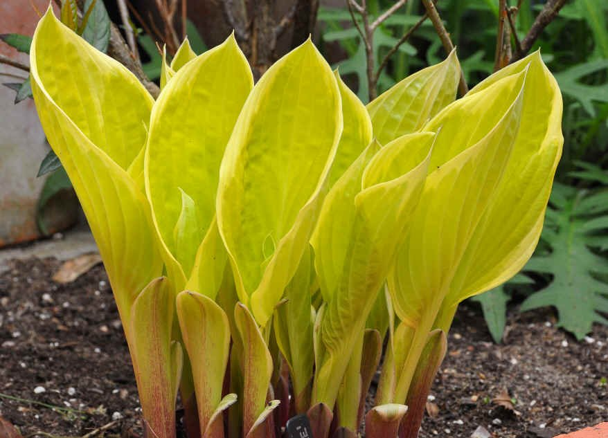 Hosta-Saint-Elmos-Fire-2
