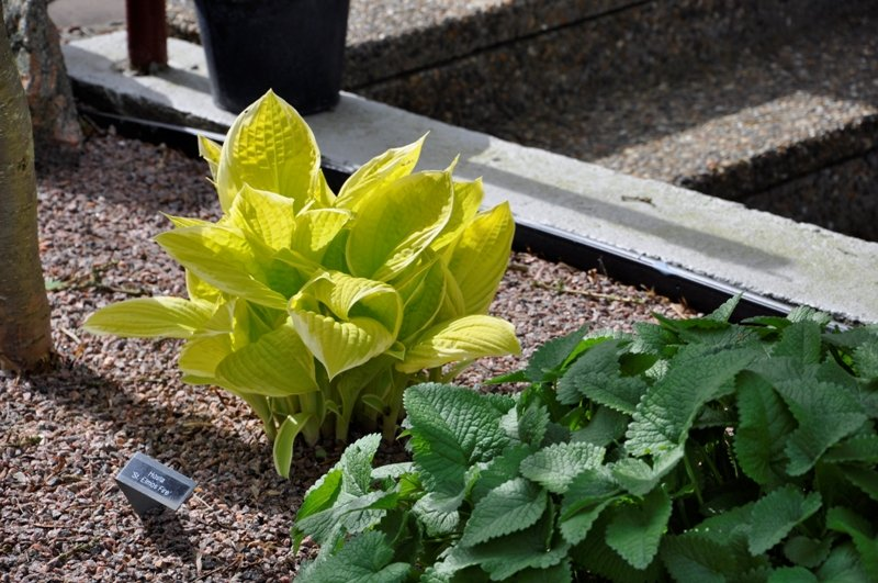 Hosta-Saint-Elmos-Fire-3