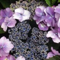 Гортензия крупнолистная «Blueberry Cheesecake»