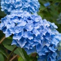 Гортензия крупнолистная «Nikko Blue»