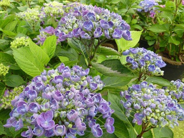 Hydrangea-macrophylla-Hovaria-Hopcorn-2