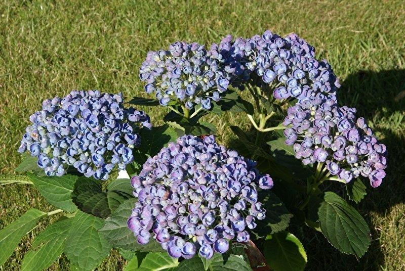 Hydrangea-macrophylla-Hovaria-Hopcorn-3