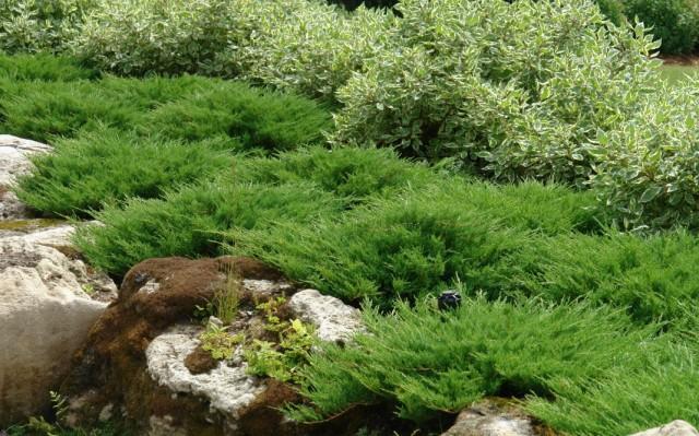 """Можжевельник распростёртый, или горизонтальный """"Принц Уэльский"""" (Juniperus horizontalis 'Prince of Wales')"""