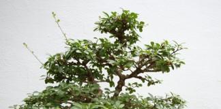 Бирючина китайская (Ligustrum sinense)