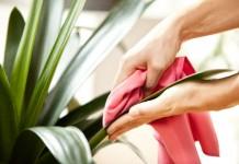 Протирание листьев комнатных растений от пыли и грязи