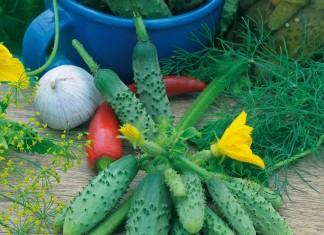 Лучшие гибриды огурцов пучкового типа от агрофирмы Аэлита Зелёная грядка