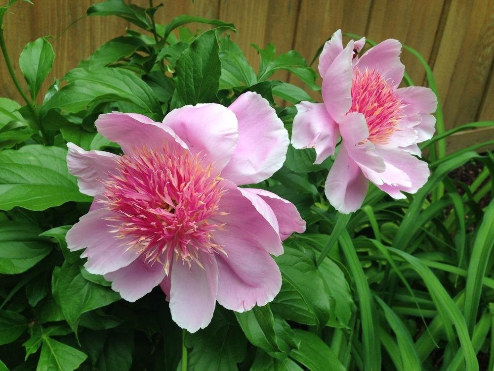 Paeonia-lactiflora-Fancy-Nancy-2