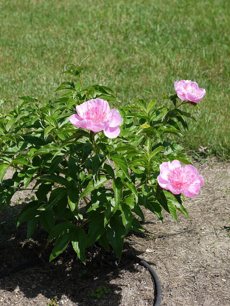 Paeonia-lactiflora-Fancy-Nancy-3