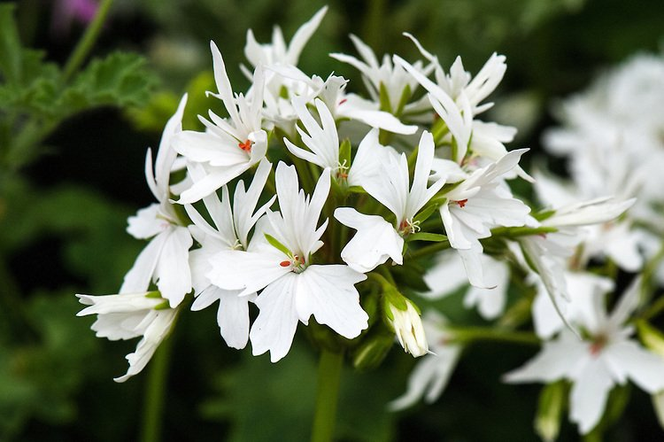 Pelargonium-Arctic-Star-1