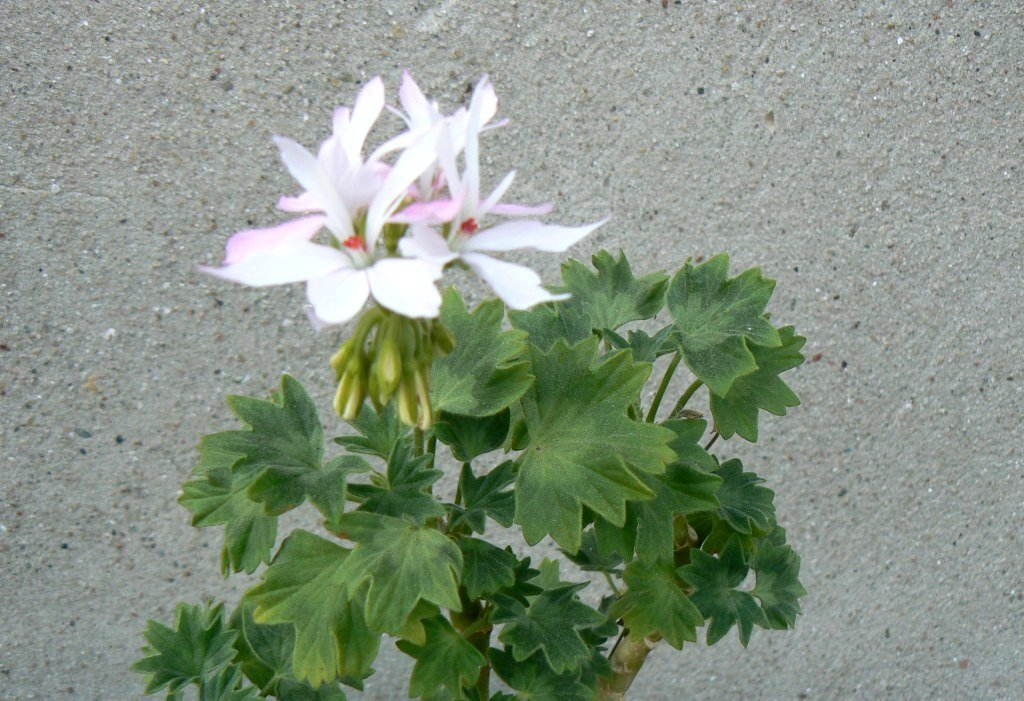 Pelargonium-Arctic-Star-3