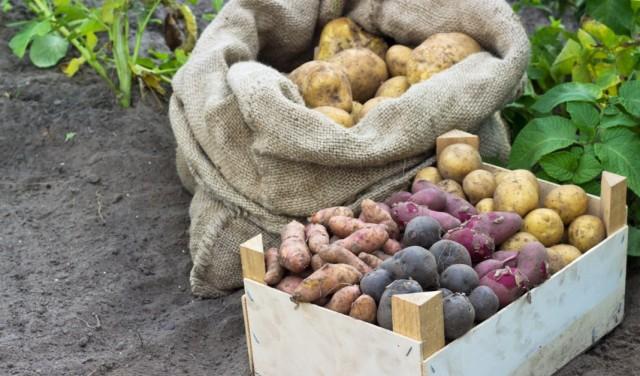 Различные сорта картофеля