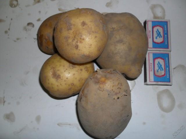 Сорт картофеля для Восточно-Сибирского региона - Арамис
