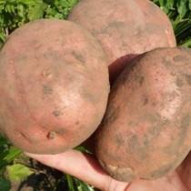 Сорт картофеля для Западно-Сибирского региона - Ирбитский