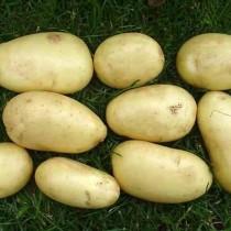 Сорт картофеля для Центрального региона - Айл оф Джура