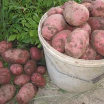 Сорт картофеля для Западно-Сибирского региона - Каменский