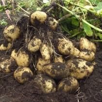 Сорт картофеля для Восточно-Сибирского региона - Кемеровчанин