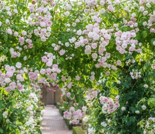 "Плетистая роза ""Бельведер"""