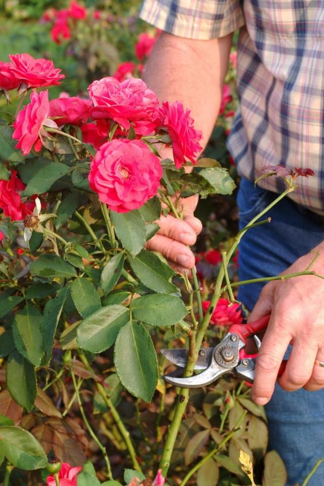 Летняя обрезка плетистых роз