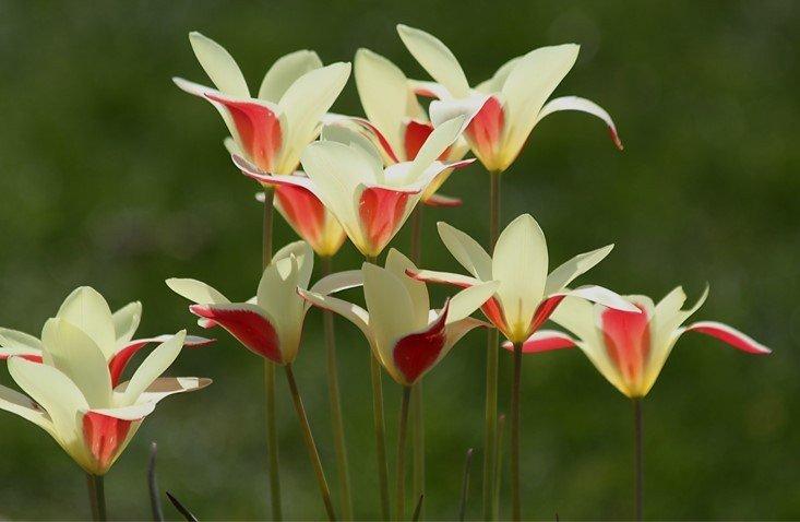 Tulipa-clusiana-Cynthia-1