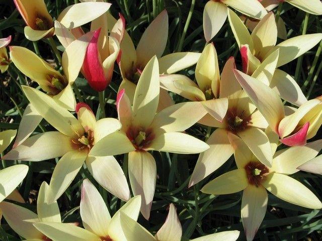 Tulipa-clusiana-Cynthia-3