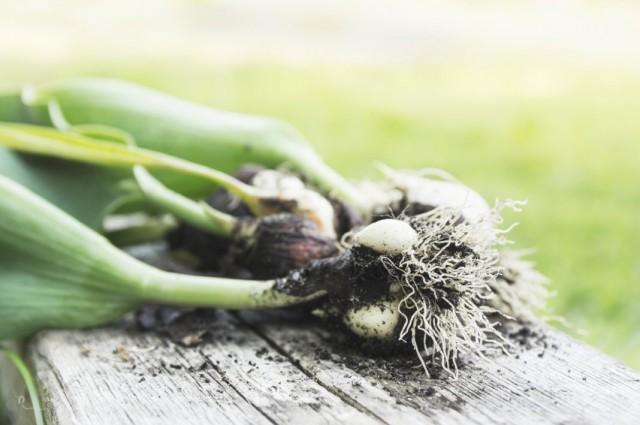 Пророщенные луковицы тюльпанов