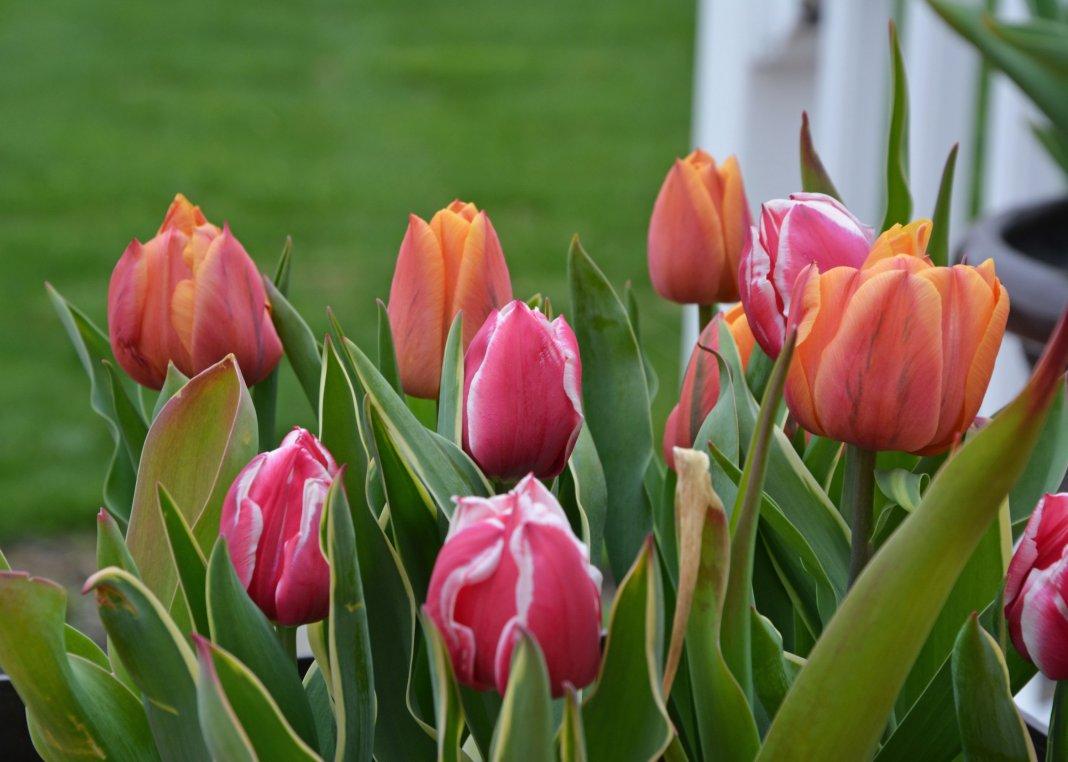 Размножение тюльпанов листьями и стеблями