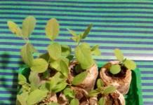 Всходы жимолости, выращиваемой из семян
