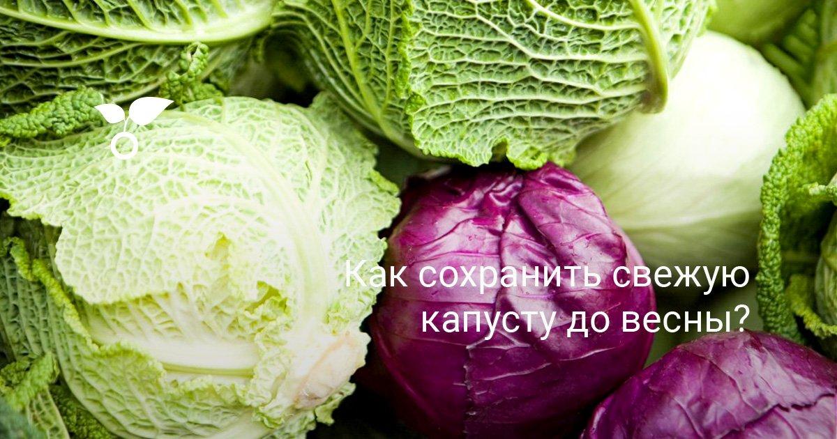 Как сохранить капусту в свежем виде до весны без потерь
