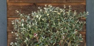 Комнатное фейхоа во время цветения