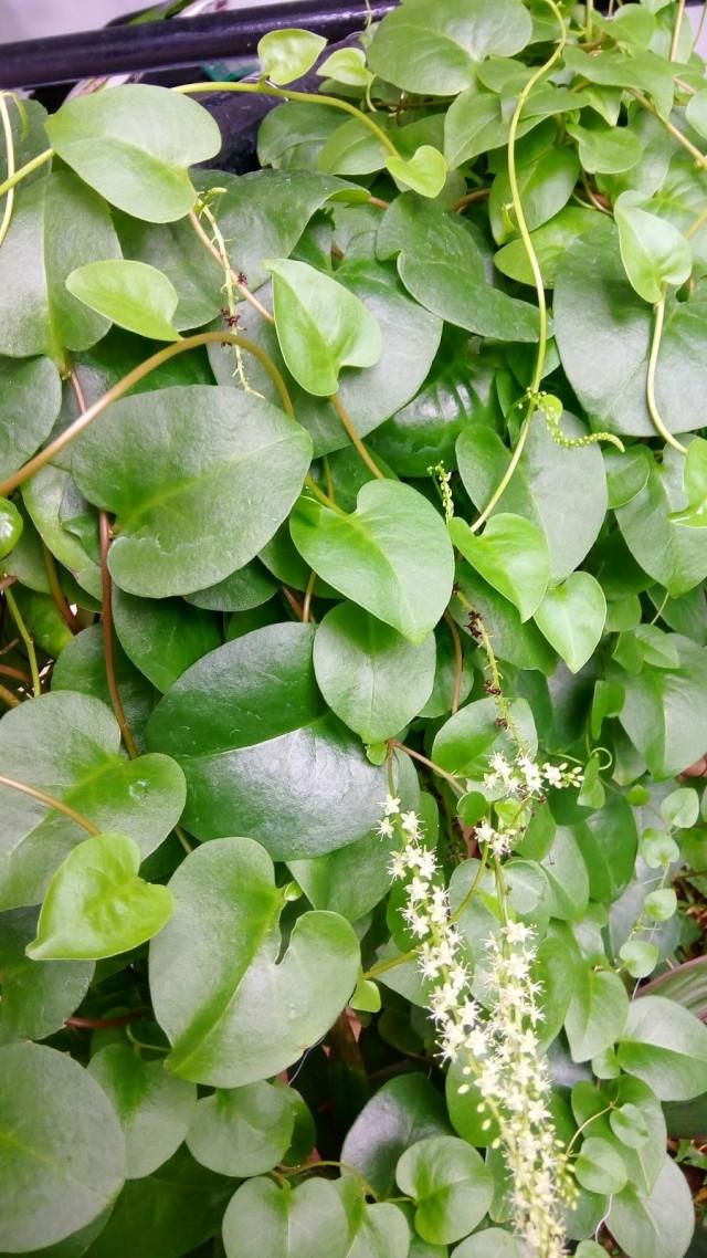 Анредера сердцелистная (Anredera cordifolia)