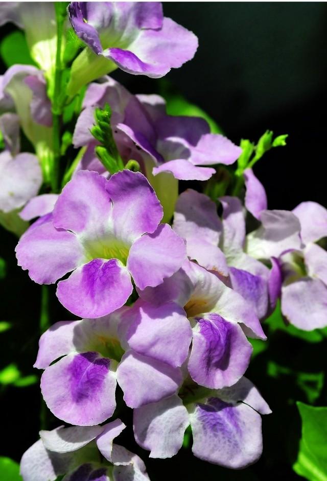 Азистазия ганская (Asystasia gangetica)