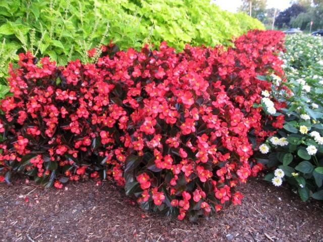 Бегония вечноцветущая (Begonia x semperflorens-cultorum)
