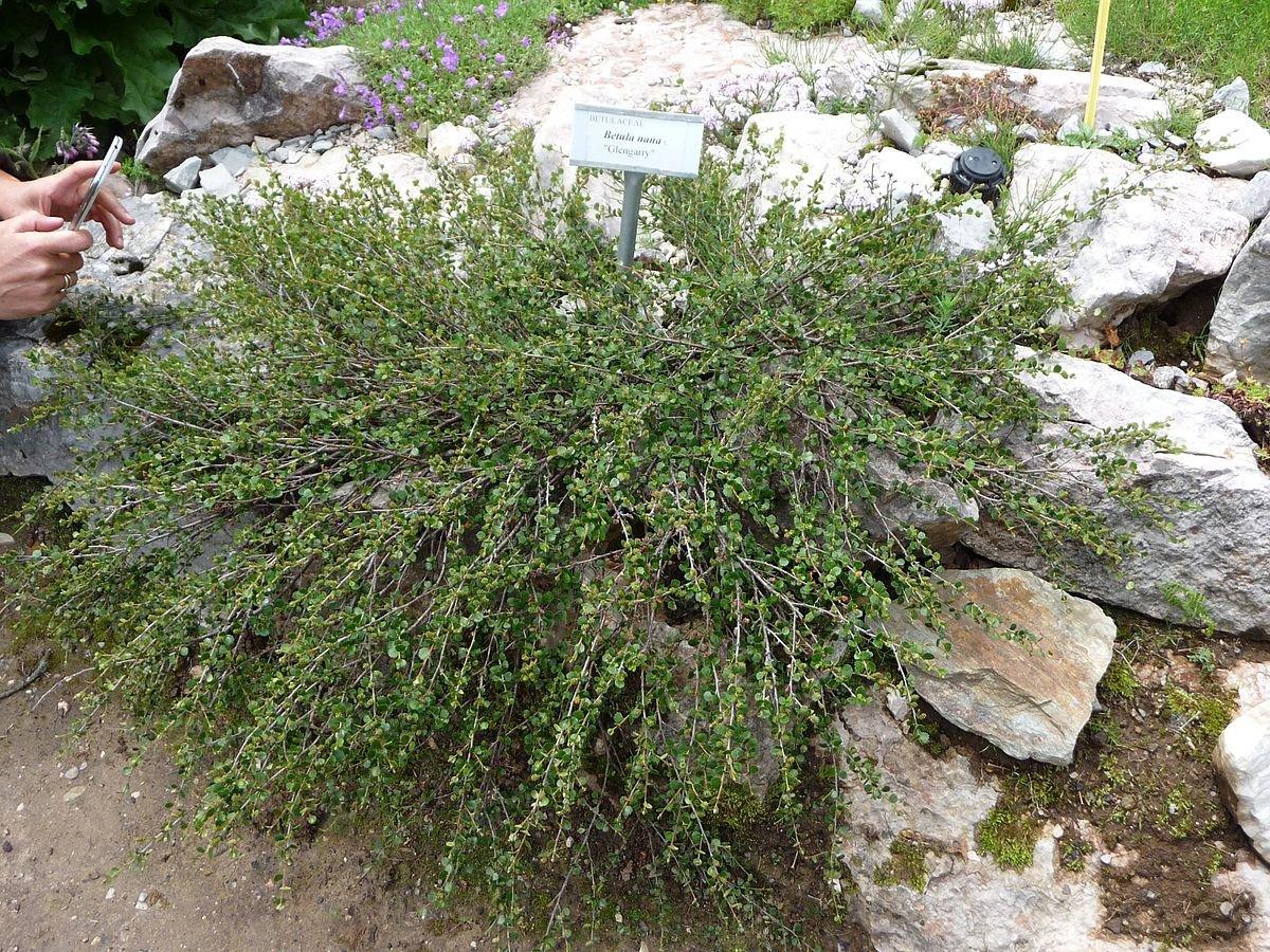 Betula-nana-1