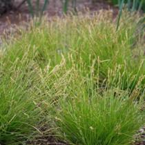 Осока (Carex)
