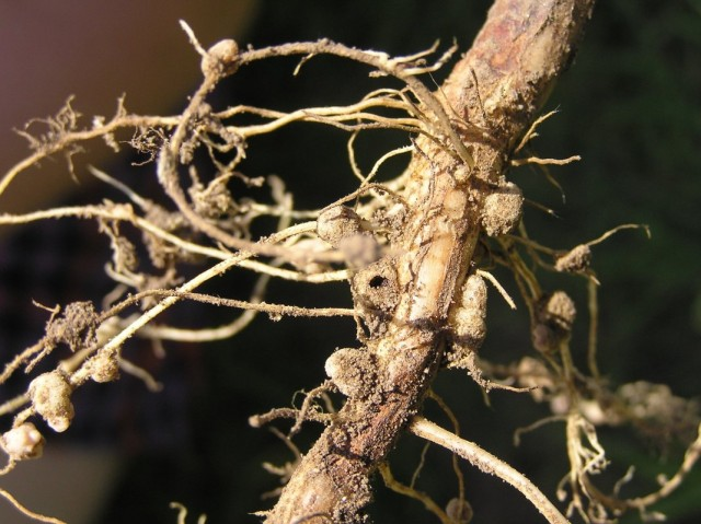 Клубеньки азотфиксирующих бактерий на корне люпина
