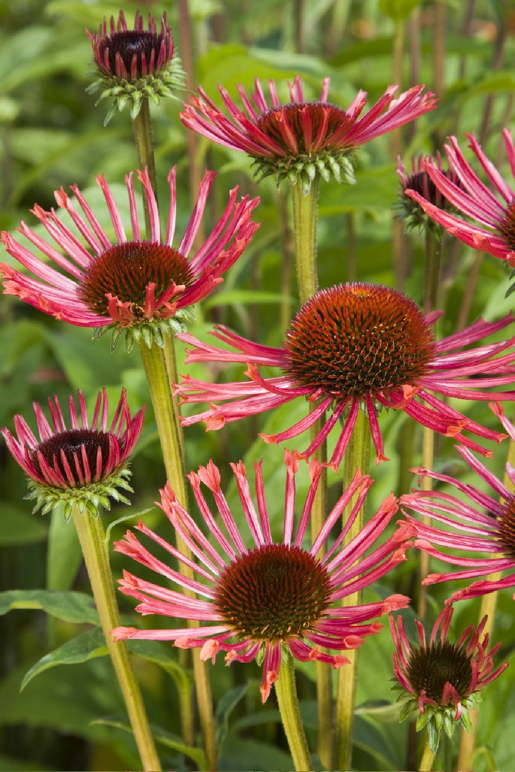 Echinacea-purpurea-Orange-Spider-2