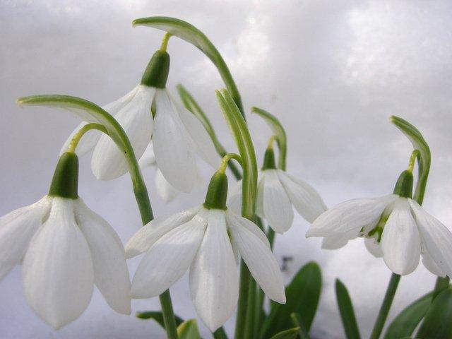Galanthus-elewesii-Godfrey-Owen-3