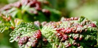 Признаки поражения галловой тлёй на листьях смородины