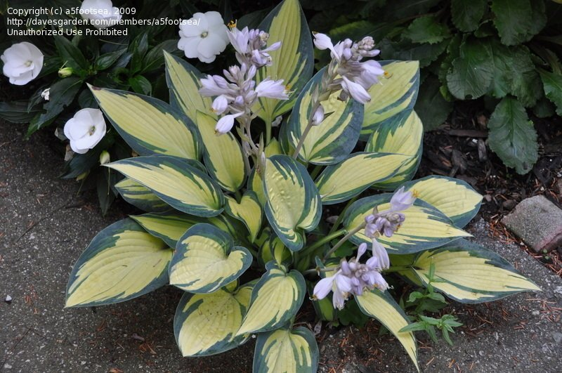 Hosta-Remember-Me-2