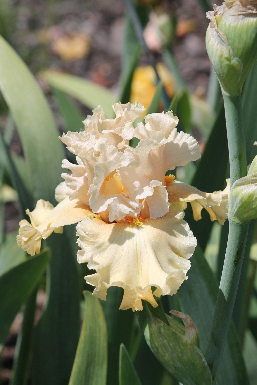 Iris-Comes-the-Dawn-2
