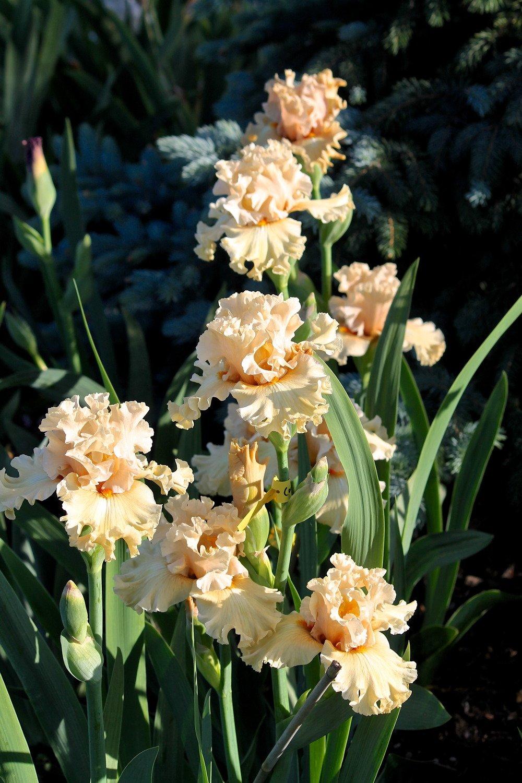 Iris-Comes-the-Dawn-3