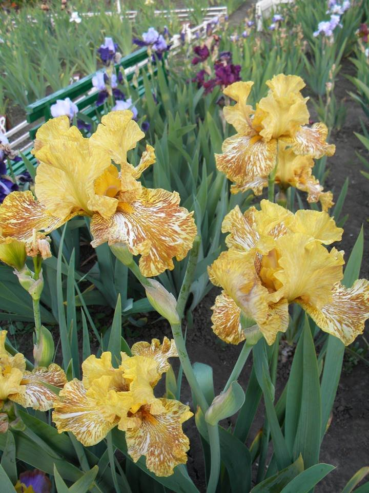 Iris-Tiger-Honey-3