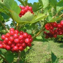 Калина сорт Красная гроздь