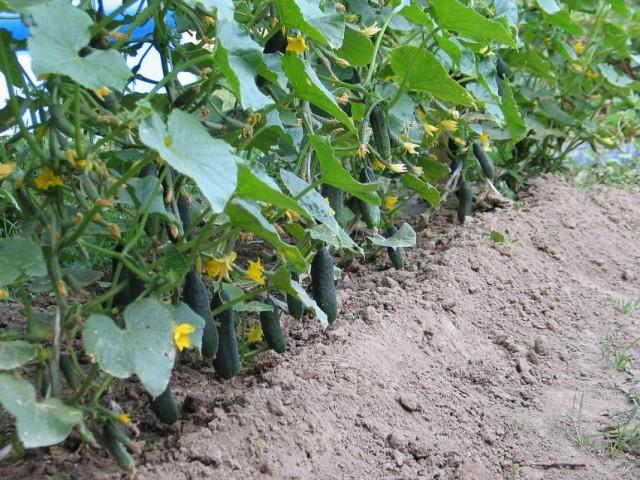 Сорта и гибриды огурцов селекции Агрофирмы «Манул»