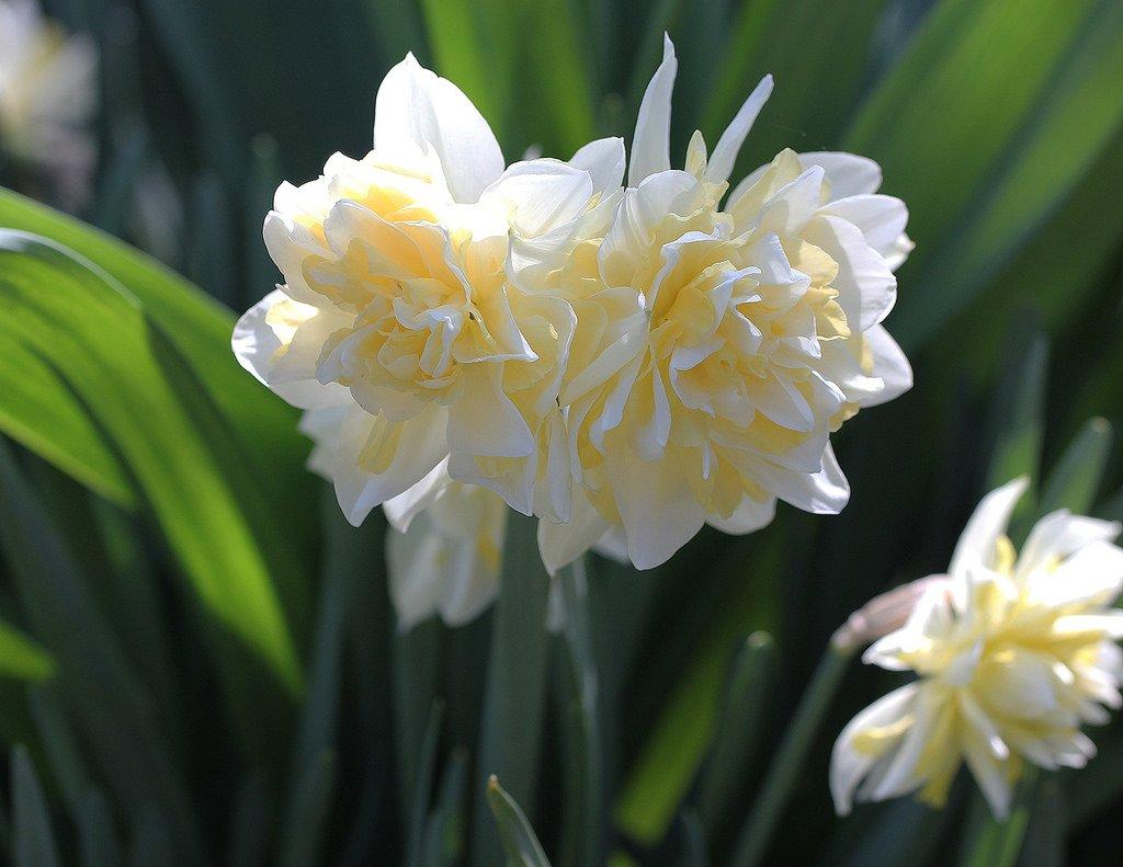 Narcissus-Irene-Copeland-2