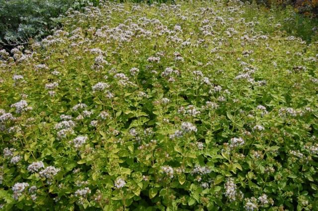 Куст душицы во время цветения