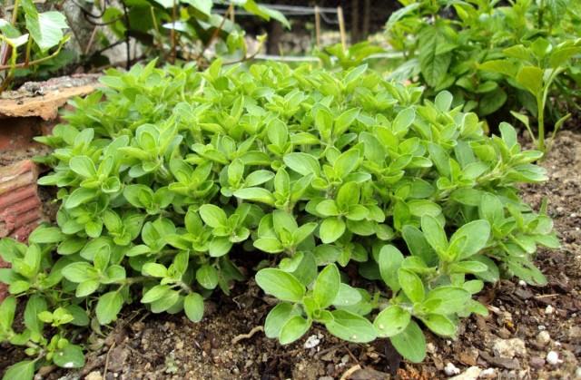 Душица обыкновенная, или Орегано (Origanum vulgare)