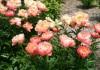 "Пион травянистый ""Корал Суприм"" (Paeonia 'Coral Supreme')"