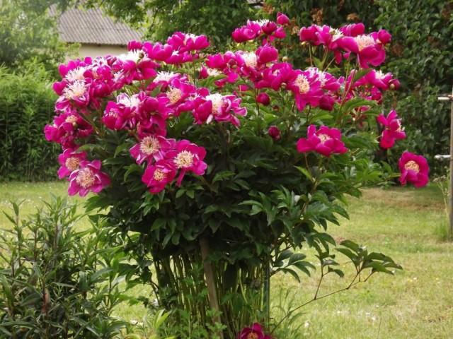 "Пион молочноцветковый ""Владислава"" (Paeonia lactiflora 'Wladyslawa')"