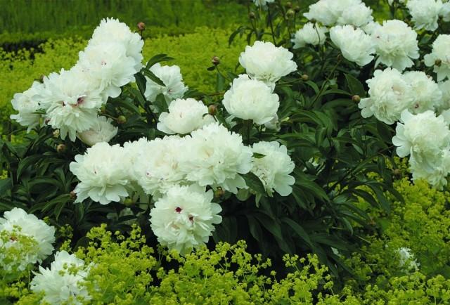 """Пион молочноцветковый """"Фестива Максима"""" (Paeonia lactiflora 'Festiva Maxima')"""